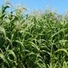 Кукурузы не будет...