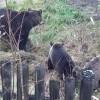 О медведях в Печоре– без слухов