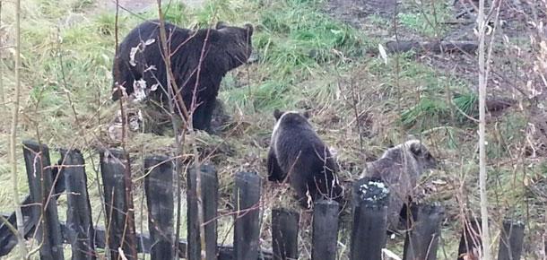 О медведях без слухов