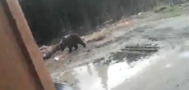В Печоре медведи обосновались на территории автосервиса