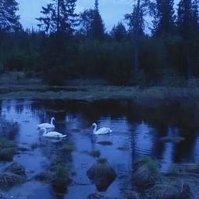 Лебеди – в Рыбнице
