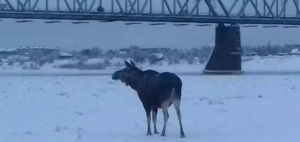 В ОМВД России по г. Печоре зарегистрировано сообщение о добыче лося