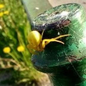 Цвета одуванчика