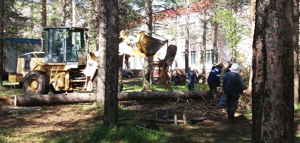 Скандал с вырубкой вековых сосен в центре Печоры