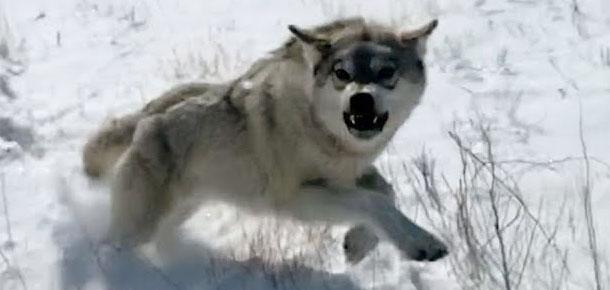 Хочешь лося – убей волка