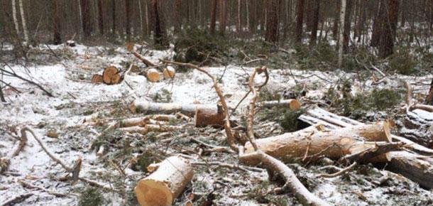 В Печоре рассмотрены два уголовных дел по фактам повреждения деревьев