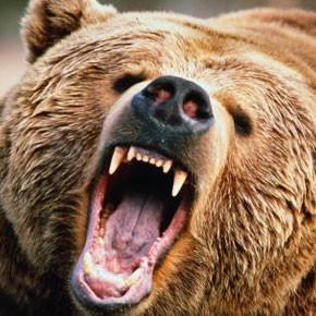 Медведя отстрелят